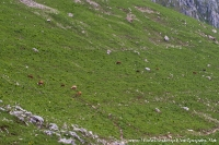 Экологически чистые коровы :)