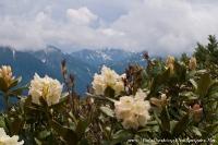 Рододендроны на фоне горных вершин
