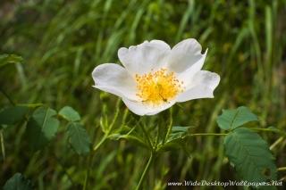 Rosa canina - Белый шиповник