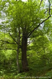 Огромный дуб