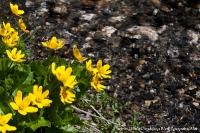 цветы у ручья